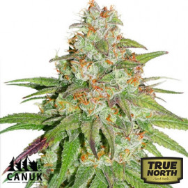 Glueberry OG Feminized Seeds (Canuk Seeds)