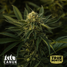 God Bud Regular Seeds (Canuk Seeds) - ELITE STRAIN