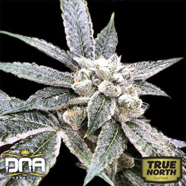 Golden Berry FEMINIZED Seeds (DNA Genetics)