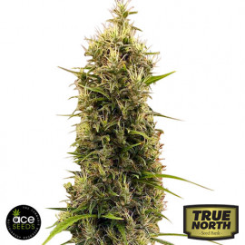 Golden Tiger 3rd Version FEMINIZED Seeds (Ace Seeds)