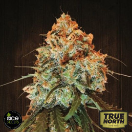 Golden Tiger Regular Seeds (Ace Seeds)