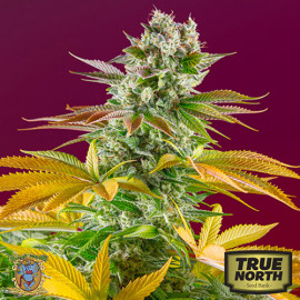 Gorilla Girl F1 Fast Version Feminized Seeds (Sweet Seeds)