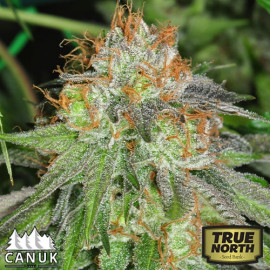 Grandaddy Bruce Feminized Seeds (Canuk Seeds) - ELITE STRAIN