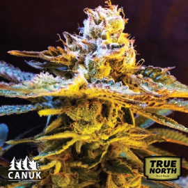 Grandaddy Black Feminized Seeds (Canuk Seeds)