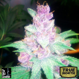 Grape Kush FEMINIZED Seeds (Cali Connection)