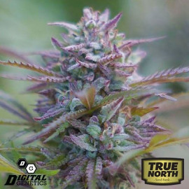 Grape Snow Train REGULAR Seeds (Digital Genetics)