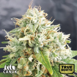 Grapefruit AUTO FEMINIZED Seeds (Canuk Seeds)