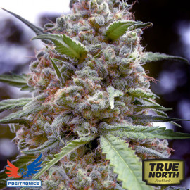Grapefruit FEMINIZED Seeds (Positronics Seeds)