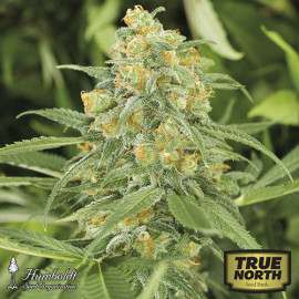 Green Crack Feminized Seeds (Humboldt Seed Org)