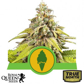 Green Gelato Automatic Feminized Seeds (Royal Queen Seeds)