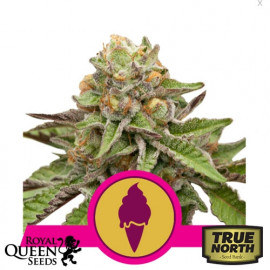 Green Gelato Feminized Seeds (Royal Queen Seeds)
