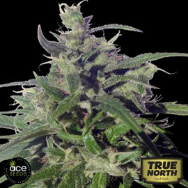 Green Honduras Haze Regular Seeds (Ace Seeds)