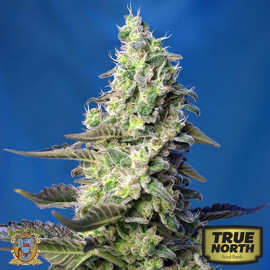 Green Poison XL Auto Feminized Seeds (Sweet Seeds)