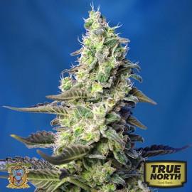 Green Poison XL Auto Feminized Seeds (Sweet Seeds)