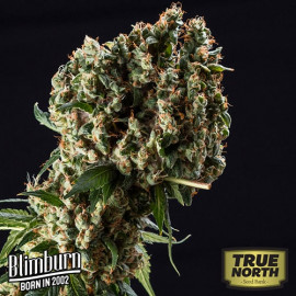 Granddaddy Purple FEMINIZED Seeds (BlimBurn Seeds)