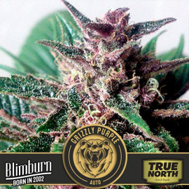 Grizzly Purple AUTO FEMINIZED Seeds (BlimBurn Seeds)