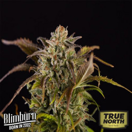 Grizzly Purple Kush FEMINIZED Seeds (BlimBurn Seeds)