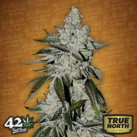 Girl Scout Cookies Auto Feminized Seeds (FastBuds)