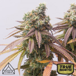 Girl Scout Cookies Feminized Seeds (Prism Seeds)