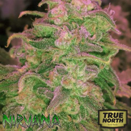 Hawaii Maui Waui FEMINIZED Seeds (Nirvana Seeds)