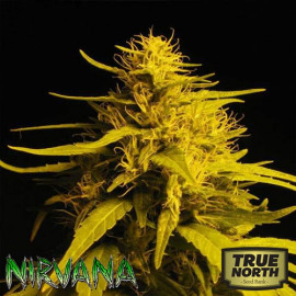 Haze #1 FEMINIZED Seeds (Nirvana Seeds)