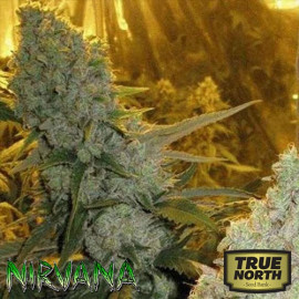 Haze #1 REGULAR Seeds (Nirvana Seeds)