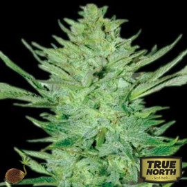 Headlights Kush AUTO FEMINIZED Seeds (Emerald Triangle)