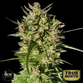 Honduras Breeze Feminized Seeds (Ace Seeds)