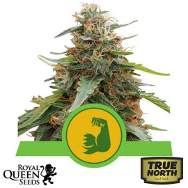 HulkBerry Automatic Feminized Seeds (Royal Queen Seeds)
