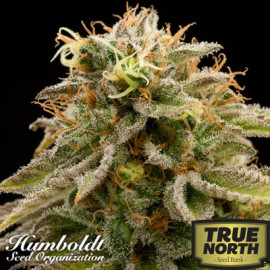 Lemon Thai Kush Regular Seeds (Humboldt Seed Org)