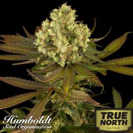 Sour Blueberry Regular Seeds (Humboldt Seed Org)