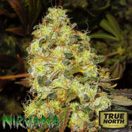 Ice FEMINIZED Seeds (Nirvana Seeds)