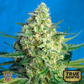 Jack 47 XL Auto Feminized Seeds (Sweet Seeds)