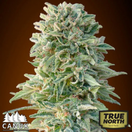 Jack Herer AUTO FEMINIZED Seeds (Canuk Seeds)
