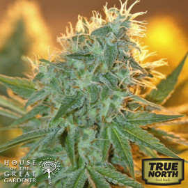 Jean Guy FEMINIZED Seeds (House of The Great Gardener)