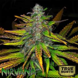 Jock Horror REGULAR Seeds (Nirvana Seeds)
