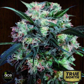 Kali China Breeders Pack FEMINIZED Seeds (Ace Seeds)
