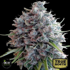 Killer A5 Haze Feminized Seeds (Ace Seeds)