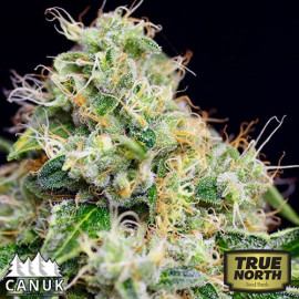 Killer Cheese Dawg Fast Feminized Seeds (Canuk Seeds)