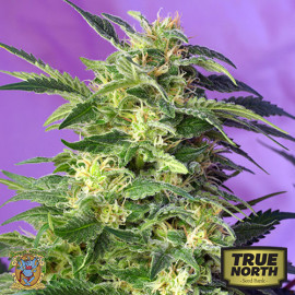 Killer Kush Auto Feminized Seeds (Sweet Seeds)