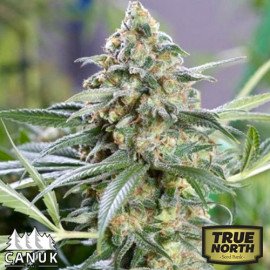 Kryptonite Kush Fast Feminized Seeds (Canuk Seeds)