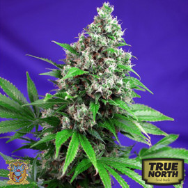 Killer Kush FAST Version Feminized Seeds (Sweet Seeds)