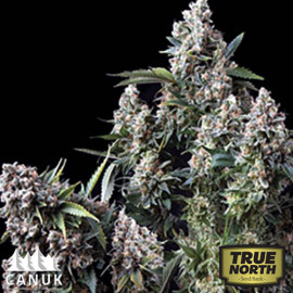 King TUT Feminized Seeds (Canuk Seeds) - ELITE STRAIN