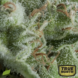 AUTO Kryptonite FEMINIZED Seeds (Pyramid Seeds)