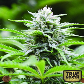 Kushhead 707 FEMINIZED Seeds (Emerald Triangle)