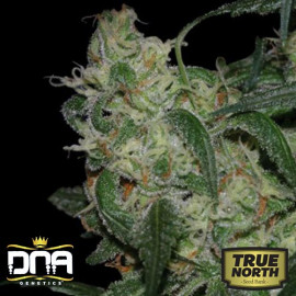 LA Cannalope (former Cannadential) Regular Seeds (DNA Genetics)