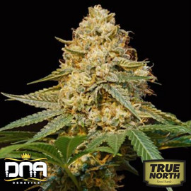 Silver LA FEMINIZED Seeds (DNA Genetics)