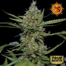 Laughing Buddha Feminized Seeds (Barney's Farm)