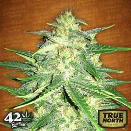 Lemon AK Auto Feminized Seeds (FastBuds)