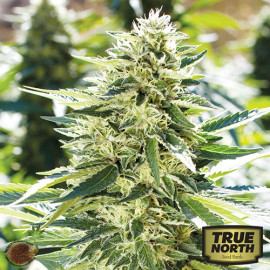 Lemon Diesel FEMINIZED Seeds (Emerald Triangle)